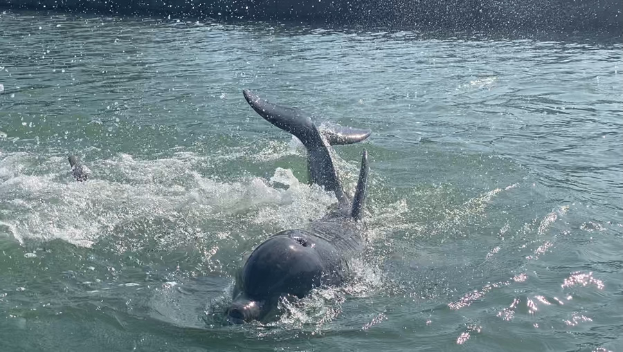 A wild dolphin played with two other dolphins in front of, around, and under our kayak.