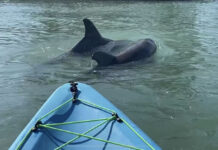 Two dolphins appear in front of our kayak